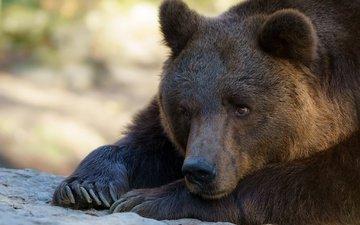 морда, животные, лапы, медведь, лежит, когти, зоопарк, бурый медведь