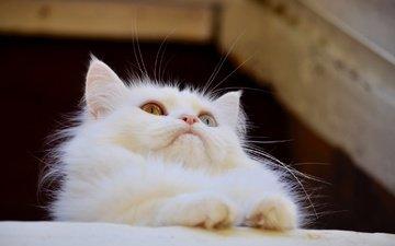 кот, мордочка, усы, кошка, взгляд, белая, ангорская кошка
