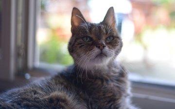 глаза, мордочка, усы, кошка, взгляд, окно