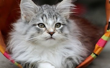 мордочка, взгляд, котенок, серый