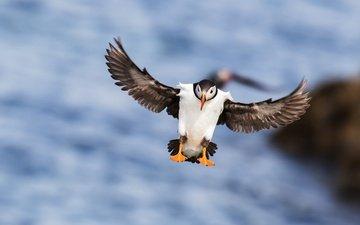 море, полет, крылья, птица, клюв, перья, тупик
