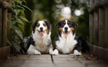 the bridge, animals, board, pair, dogs, australian shepherd