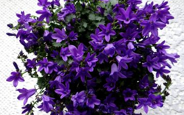 flowers, flowering, bells, purple