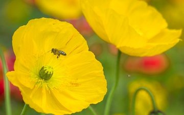 flowers, insect, petals, mac, bee