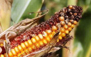 corn, vegetables, grain, cereals, closeup, the cob