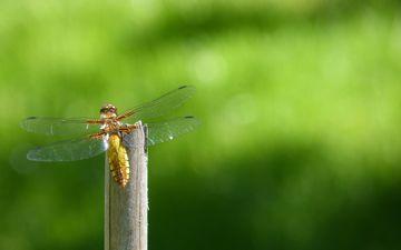 природа, насекомое, крылья, стрекоза, стебель, боке, крупным планом