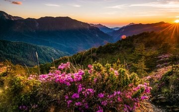 the sky, flowers, clouds, the evening, mountains, the sun, hills, nature, flowering, forest, sunset, rays, landscape, fog, the bushes, slope, tops, spring, ate, rhododendrons