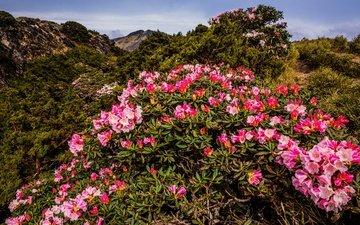 небо, цветы, природа, листья, пейзаж, склон, гора, весна, розовые, куст, холм, растительность, рододендроны