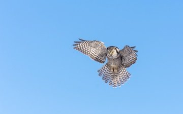 небо, сова, крылья, птица, клюв, перья, ястребиная сова
