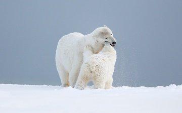 небо, снег, природа, любовь, игра, медведи, белый медведь, детеныш, медвежонок, арктика, медведица