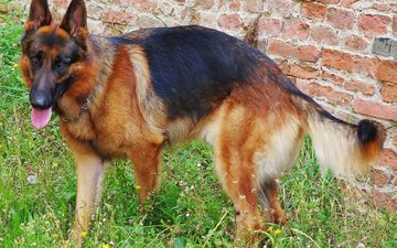 flowers, grass, muzzle, dog, language, german shepherd, brick wall