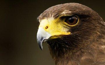 background, eagle, bird, beak, feathers