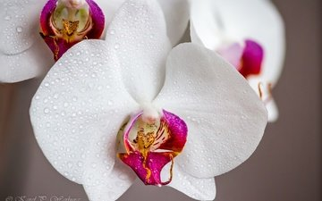 flowers, drops, orchids, water drops