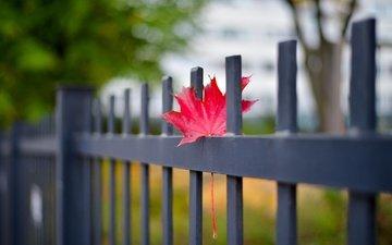 осень, забор, лист, кленовый лист