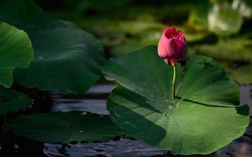 lake, nature, leaves, flower, pond, bud, lotus, stem