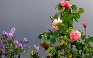 цветы, парк, роза, сад, франция