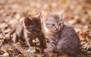 листья, мордочка, усы, взгляд, осень, парочка, кошки, малыши, котята
