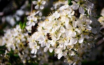 цветение, насекомое, пейзаж, весна, пчела