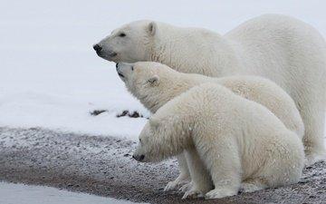 полярный медведь, медведи, белый медведь, арктика, детеныши, медвежата