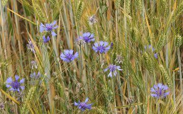 цветы, трава, поле, колоски, растение, васильки, полевые цветы, василек, ячмень