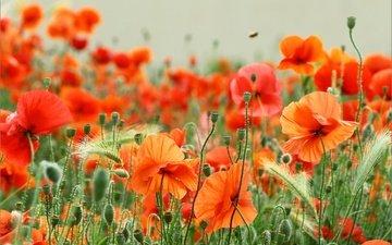 цветы, поле, лето, красные, маки, колоски, боке