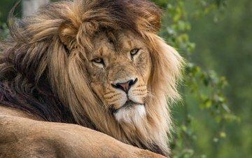 портрет, взгляд, хищник, лев, зверь, грива, лежа