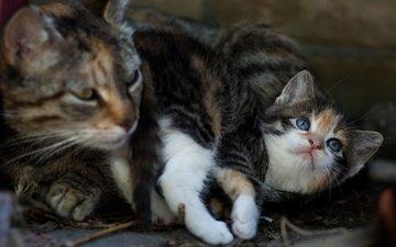 поза, кот, мордочка, кошка, котенок, маленький, мама, малыш, трехцветный