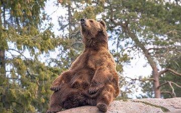 деревья, природа, поза, медведь, камень
