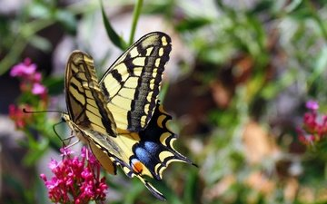 flowers, nature, insect, butterfly, wings, swallowtail