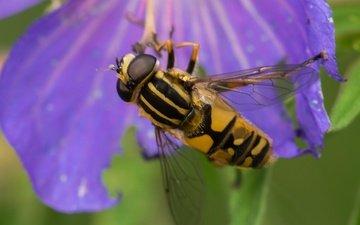 природа, насекомое, цветок, пчела, шершень, трутень