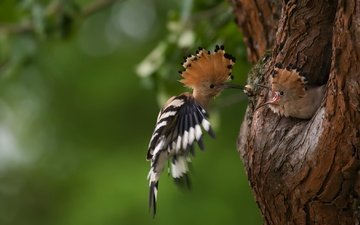 nature, tree, birds, beak, feathers, tail, the hollow, hoopoe, crest, double, hoopoes