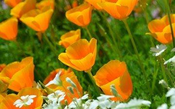 flowers, nature, escholzia, yellow flowers, california poppy