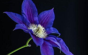 nature, background, flower, petals, black background, clematis