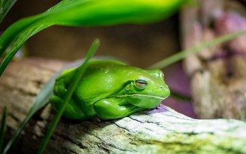 природа, фон, лягушка, амфибия, земноводные