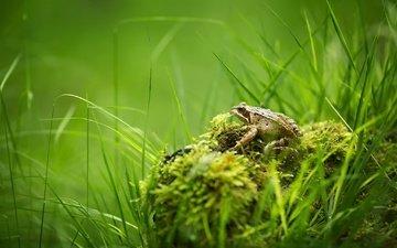 трава, природа, лето, лягушка, мох