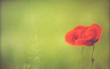 цветы, природа, лето, красные, маки