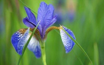 природа, макро, цветок, лепестки, размытость, ирис