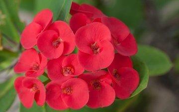 flowers, nature, leaves, macro, petals, inflorescence, euphorbia