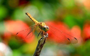 природа, насекомое, крылья, размытость, стрекоза