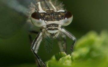 eyes, nature, macro, insect, blur, dragonfly