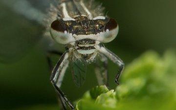 глаза, природа, макро, насекомое, размытость, стрекоза