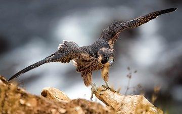 nature, wings, eagle, bird, beak, feathers