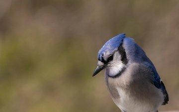 nature, bird, beak, feathers, blue jay