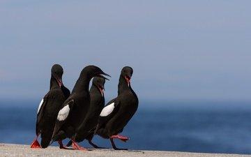 nature, birds, bird, beak, feathers, common guillemot