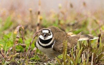 nature, bird, beak, feathers, noisy plover