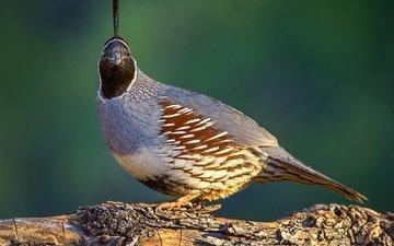 nature, bird, beak, feathers, quail, common quail crested