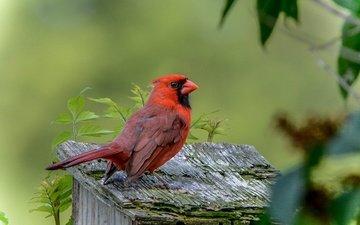 природа, птица, клюв, оперение, кардинал