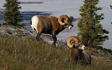 природа, рога, канада, бараны, толсторог