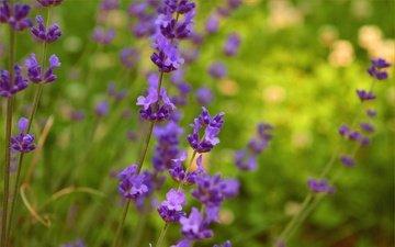 цветы, природа, лаванда, весна, фиолетовые цветы