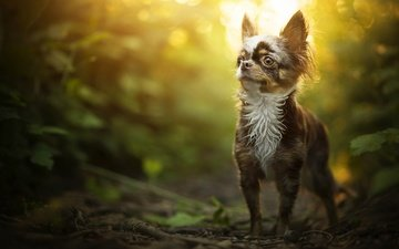 nature, greens, forest, leaves, background, park, dog, puppy, bokeh, chihuahua